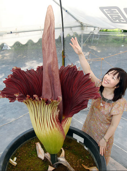World's largest flower